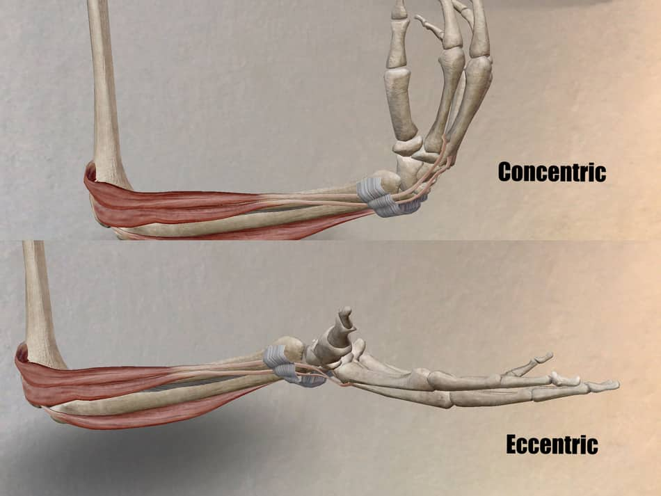 flexion and extension of the wrist